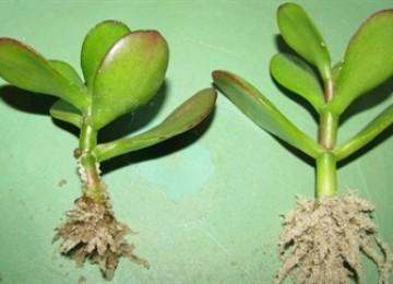 Тонкости размножения толстянки черенками. Особенности укоренения денежного дерева в домашних условиях