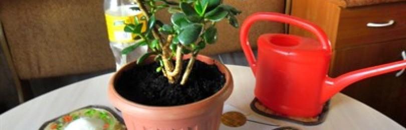 Полезные советы, чем подкормить денежное дерево, чтобы выросло здоровым и красивым
