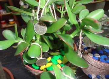 Магия цветов, или Приметы и суеверия, связанные с денежным деревом
