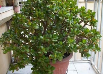 Откуда пошло название денежного дерева, а так же различные виды толстянки. Особенности ухода за растением